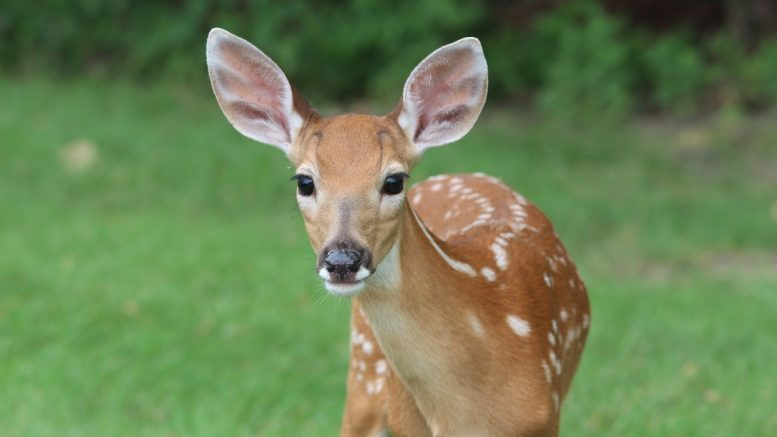 Deer Now Depopulation Guinea Pig